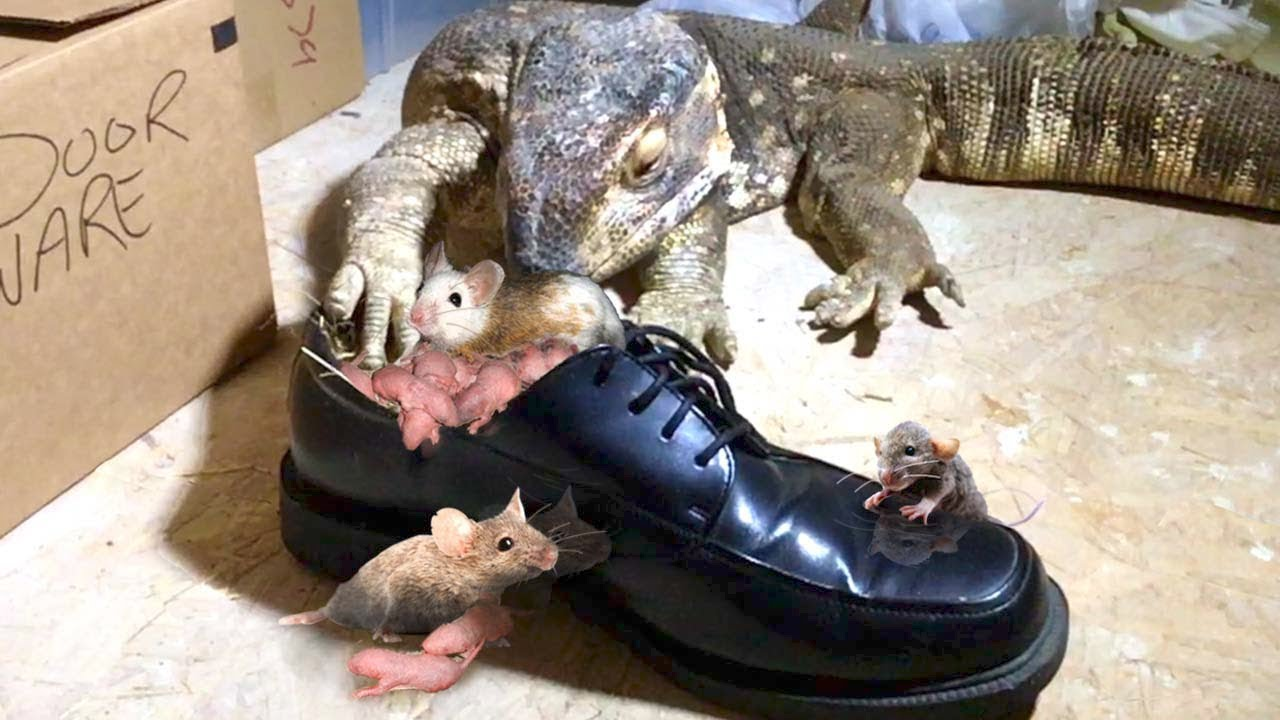 Lizard Finds Rat Nest in Nice Dress Shoes--Eats Everyone