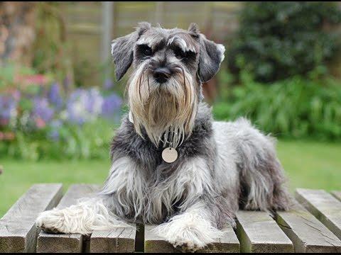 Dogs Top 3 Hypoallergenic Dogs  Dog Breeds  Schnauzer