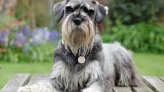 Dogs: Top 3 Hypoallergenic Dogs - Dog Breeds - Schnauzer