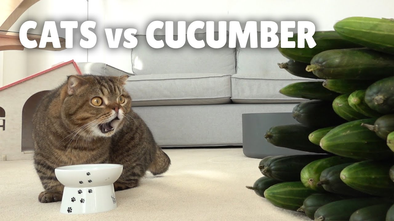 Cats vs Cucumber