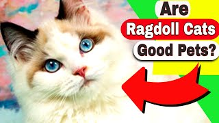 Ragdoll Cats Breed Personality  Why do Ragdoll Cats go limp?