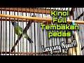 Masteran Cucak Kinoi Tembakan Speed Rapat Cocok Untuk Pancingan Kinoi Bahan Agar Cepat Bunyi Gacor  Mp3 - Mp4 Download
