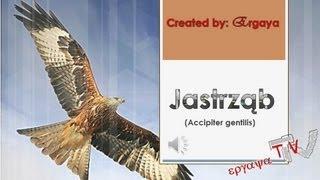 Jastrząb (jastrząb gołębiarz) (Accipiter gentilis)