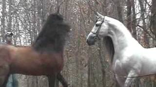 Andalusians Stallions Nose to Nose