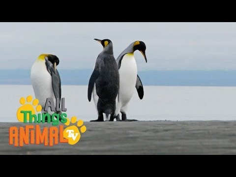 * PENGUIN * | Animals For Kids | All Things Animal TV