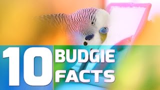 10 Cool Facts About Budgies