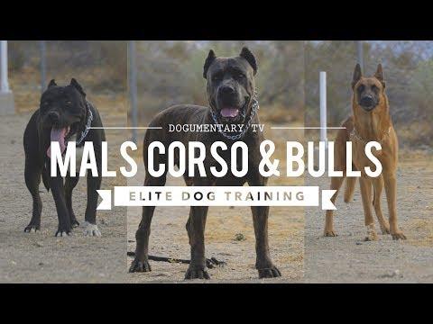CANE CORSO BELGIAN MALINOIS PIT MIX - ELITE DOG TRAINING