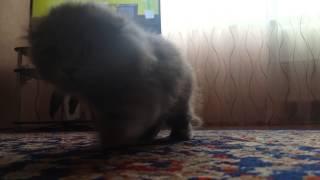 Котенок хайленд-фолд девочка