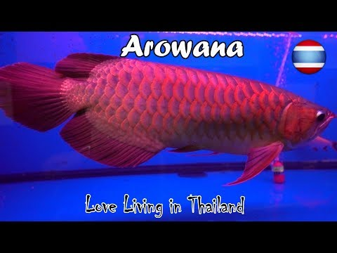 Arowana Fish Market WORLD'S LARGEST Bangkok Thailand