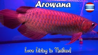 Arowana Fish Market WORLD'S LARGEST Bangkok Thailand