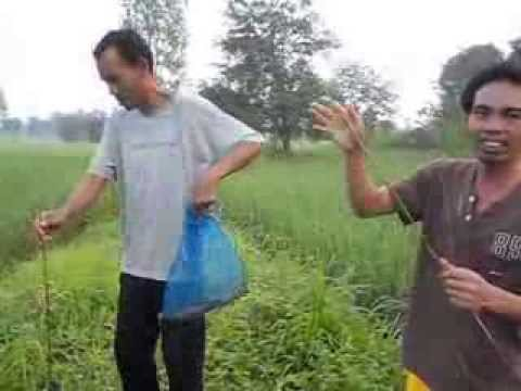 เซียนอ๊อด ปลาช่อนหน้าฝน  บ้านเหล่าโพนงาม อ.หนองพอก