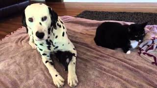 3-week-old Kitten Cuddles With Dalmatian