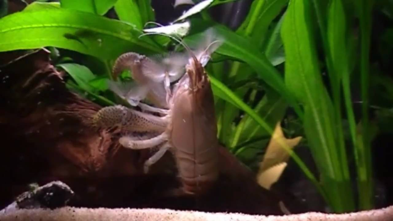 African Giant Fan Shrimp (Gabon shrimp) - YouTube