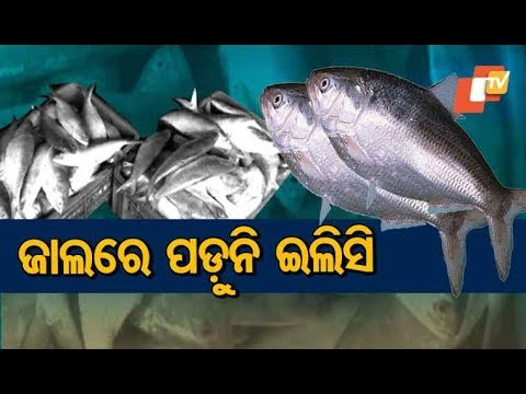 Unfavourable Weather Affects Hilsa Supply