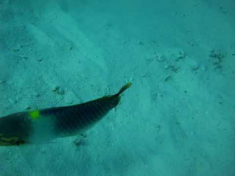 Red Sea October 2009 - Abu Ramada Gota Reef  - triggerfish