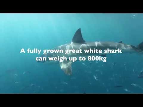 shark-attack---can-a-shark-shield-technology-deter-a-charging-white-shark?