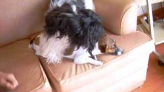 Shih Tzu Mating A Jack Russell