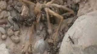 camel spider vs army of ants