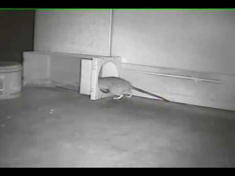 DIY MOUSETRAP機靈謹慎老鼠用捕鼠瓶捕獲實例影片 (最新捕鼠器). - YouTube