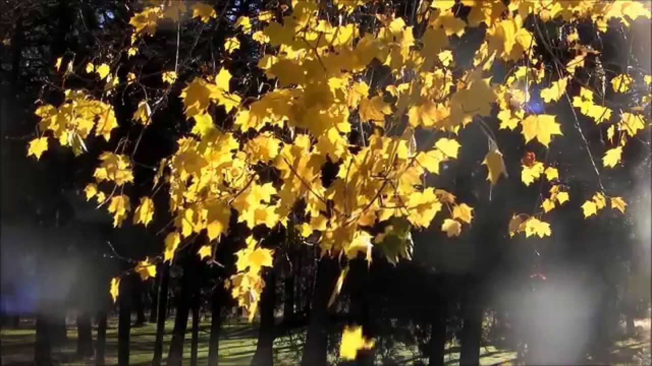 Falling Leaves Wallpaper Animated Autumn Leaves Time Lapse Tree Drops It S Yellow Fall