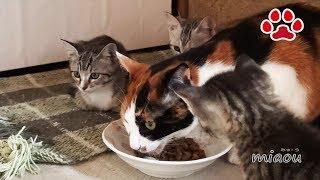子猫の私達にも食べさせろ Kitten wanting to eat an adult cat food thumbnail