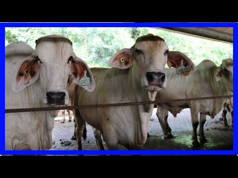 Breaking News | Online sales of Australian beef in Indonesia a way to boost live cattle trade