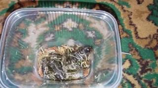 Кормовые лягушки (где купить, сколько стоят)