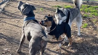 A Husky Steps In When a Bully Accosts on Her Best Friend