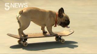 Eric the Skateboarding French Bulldog