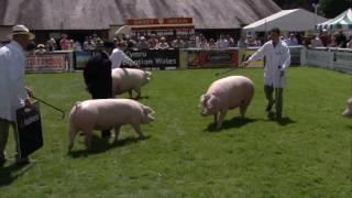 Moch Cymreig Pencampwriaeth Hychod | Welsh Pig Championship