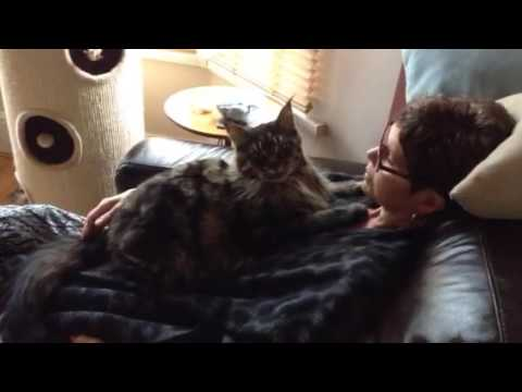 Maine Coon affection
