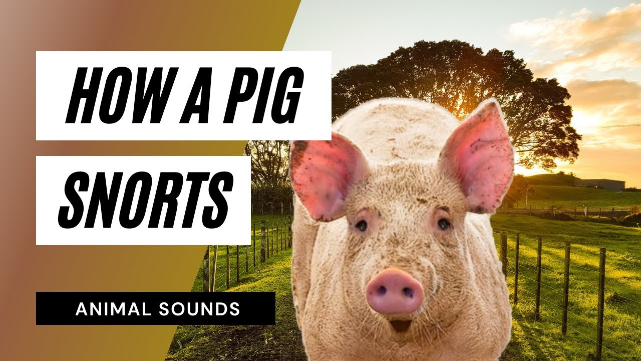 Download The Animal Sounds: Pig Snorts / Sound Effect / Animation