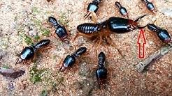 Primitive Soldier Termite Leader_Good Nature Controlling