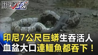 印尼7公尺巨蟒生吞活人 血盆大口連鱷魚都吞的下!!關鍵時刻 20180620-6黃創夏