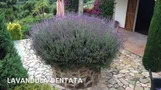 Lavandula dentata. Garden Center online Costa Brava - Girona.(Lavandula dentata. Garden Center online Costa Brava - Girona. Web: http://personalgardenshopper.es/, 2014-05-31T11:46:26.000Z)