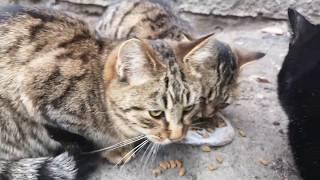 Кормим дворовых котов,милахти крупным планом, такие лапы