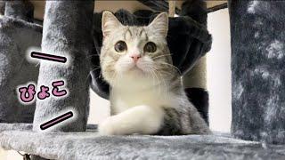 初めてのキャットタワーを探検する猫がかわいすぎます…!
