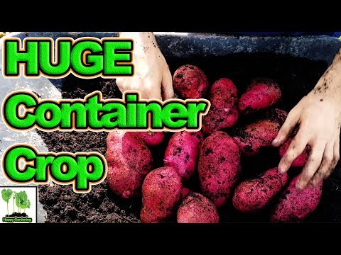How to Grow Potatoes In Containers For High Yields