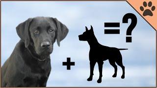 10 Unbelievable Labrador Mix Breeds