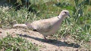 Дикие голуби - Кольчатые  горлицы на нашей даче - Часть 1