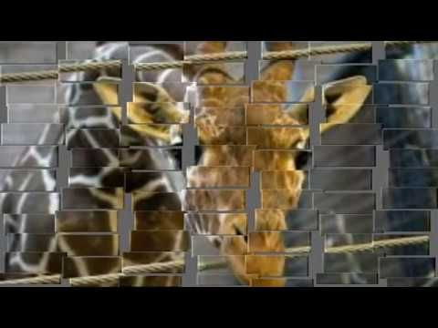 Danish Copenhagen Zoo killed healthy giraffe, fed to lions to prevent 'inbreeding'