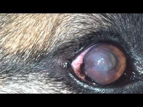 Cloudy Eye In German Shepherd Pannus