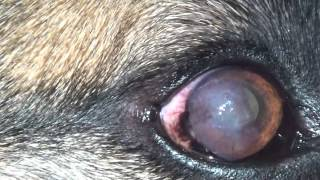 Cloudy Eye in  a German Shepherd:Pannus