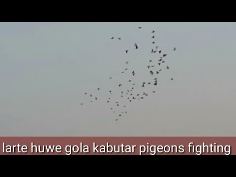 #comedy central comedians     | larte huwe gola kabutar fight pigeons |  beautiful birds and pigeon