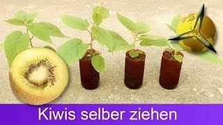 Plant your own kiwis