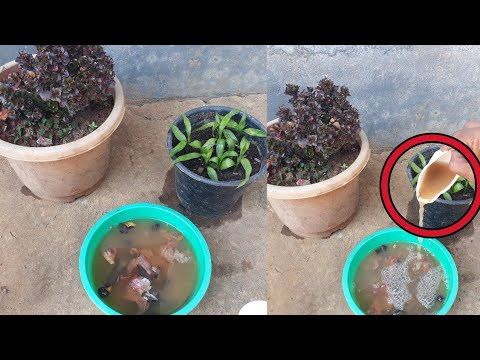 How to make liquid organic fertilizer at home
