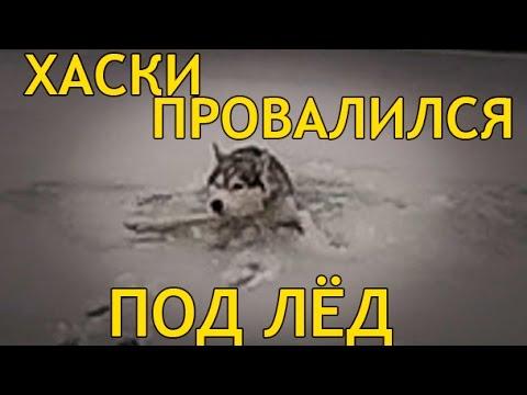 ХАСКИ ПРОВАЛИЛСЯ ПОД ЛЁД / HUSKY FELL UNDER the ICE