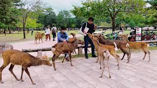 Nara Park in Japan 奈良公園    Street Deer in Japan   Japan Vlog   Nara Japan Deer Park