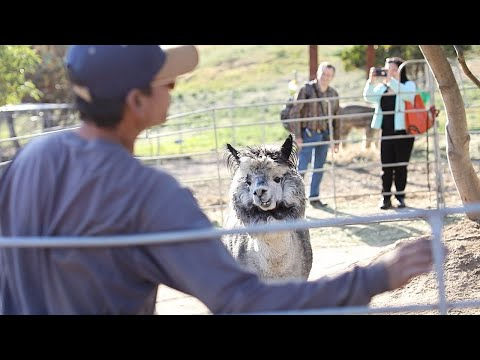 A Place in California Where You Could Pet Over 40 Alpacas