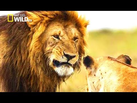 Lions of Ethiopia Wild Nat Geo Documentary 2017 HD